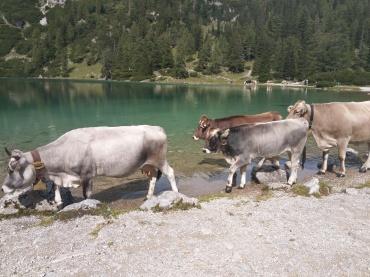 Sebensee-Kühe